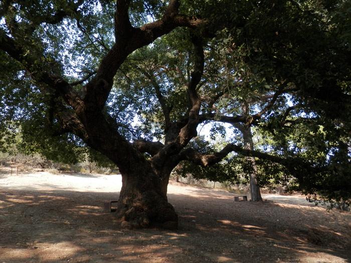 Encore un arbre plusieurs fois centenaire...