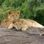 Jour 1 : Arrivée dans la réserve du Masai Mara